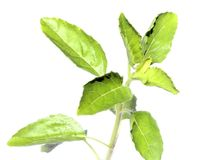 Holy Basil or thulasi leaves. Holy Basil or thulsi leaves over white background Royalty Free Stock Images