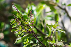 Holy basil tree Royalty Free Stock Photos