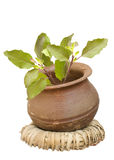 Holy basil tulasi in clay pot isolated. Holy basil/tulasi in a clay pot on a wicker ring isolated with clipping path royalty free stock image