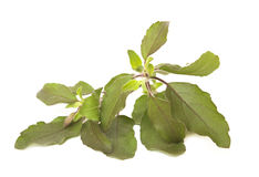 Holy Basil Tulasi Isolated with clipping. Sprig of Holy Basil / Tulasi Isolated on White with clipping path stock image
