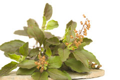 Holy basil tulasi on stone plate isolated. Bunch of holy basil tulasi herb with seeds on stone plate isolated with clipping path stock photo