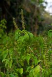 Holy Basil or Tulsi Royalty Free Stock Image