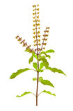 Holy Basil or Tulsi isolated with clipping path Stock Photos