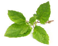 Holy basil or tulsi leaves. Medicinal holy basil or tulsi leaves over white background Stock Images