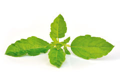 Holy basil or tulsi leaves. Isolated over white background Royalty Free Stock Image