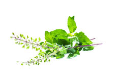 Holy basil or tulsi leaves. And flowers Stock Image