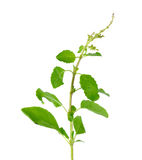 Holy basil or tulsi leaves isolated over white background Royalty Free Stock Image