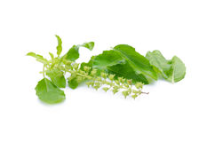 Holy basil or tulsi leaves isolated over white background Stock Photo