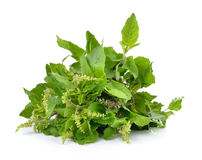 Holy basil or tulsi leaves isolated on white background Stock Photography