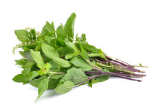 Holy basil or tulsi leaves isolated on white background Stock Photo
