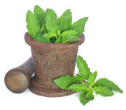 Holy basil or tulsi leaves in a vintage mortar Stock Image