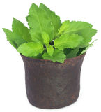 Holy basil or tulsi leaves in a vintage mortar Royalty Free Stock Photos