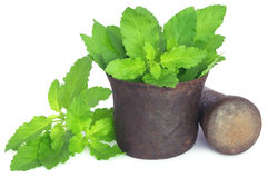 Holy basil or tulsi leaves in a vintage mortar Royalty Free Stock Photo
