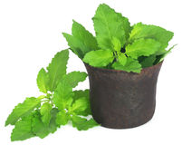 Holy basil or tulsi leaves in a vintage mortar Stock Photography