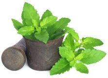 Holy basil or tulsi leaves in a vintage mortar Stock Images