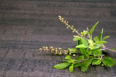 Holy Basil or Tulsi queen of herbs and wooden mortar. Holy Basil or Tulsi Queen of herbs in wooden mortar, closeup. an Ayurveda concept royalty free stock images