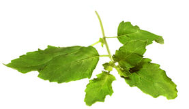 Holy basil Stock Photography