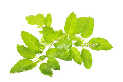 Holy basil on white Royalty Free Stock Photos