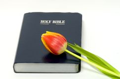 Holy Bible and flower. A closeup view of the Holy Bible isolated on a white background with a colorful spring tulip laying on the cover Royalty Free Stock Photography