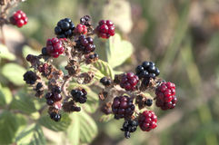 Holy-Bramble in the sun Stock Images