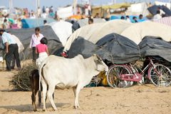 Holy cattle at the Megha Mela Stock Images