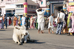 Holy cattle in Puri Stock Image