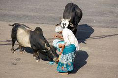 Holy cattle in Puri Stock Photo
