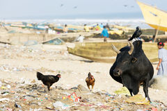 Holy cattle on the Puri beach Royalty Free Stock Photo