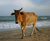 Holy Cow. At the beach, Tamil Nadu, India Stock Photos
