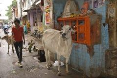 Holy Cow, Alwar, Rajasthan, India Stock Photo