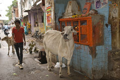 Holy cow, Alwar, Rajasthan, India. Holy cow in the street in Alwar Stock Photo