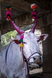 Holy cow with horns painted red in Hampi, India. Royalty Free Stock Image