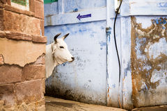 Holy cow, India Royalty Free Stock Photography