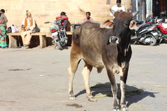 Holy Cow in india Stock Images