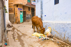 Holy cow, Jodhpur, India Royalty Free Stock Photo