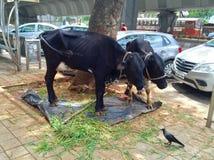 Holy Cow - Kamadhenu Royalty Free Stock Images