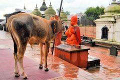 Holy cow in Pashupatinath temple, Khatmandu Royalty Free Stock Image