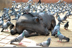 Holy cow and pigeons. Holy cows and pigeons in Durbar Square, Kathmandu,Nepal Stock Image