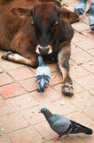 Holy cow and pigeons at Durbar Square. Nepal Royalty Free Stock Photography