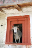 Holy cow in rural mountain home, kullu india. Cow in shed Royalty Free Stock Photography