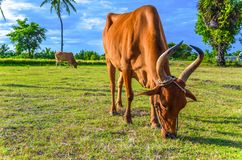 Holy cow, Tamilnadu Stock Photo