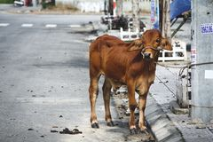 Holy Cow in Vietnam stock photo