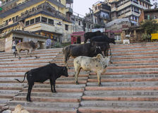 Holy cows on holy ghats. Holy cows are standing on the stair of the ghats of Varanasi (all faces and logos blurred Royalty Free Stock Image