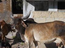 Holy Cows in Junagadh / India. Holy Cows in Junagadh in India stock images