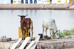 Holy cows in Pushkar Royalty Free Stock Images