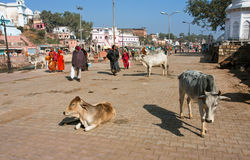 Holy cows walk on the street of the old town Stock Photo