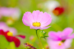 Holy galsang flower stock images