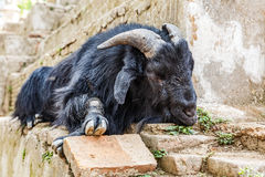 Holy goat take a rest Royalty Free Stock Photography