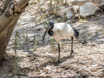 Holy ibis - Threskiornis aethiopicus - walks the sunny day  through the forest Royalty Free Stock Image