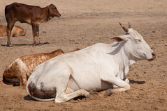 Holy Indian cows on the sand Royalty Free Stock Photos